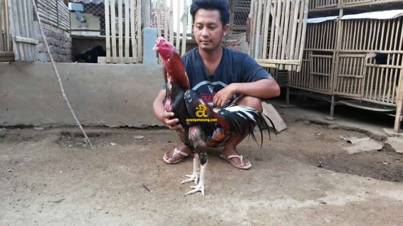 Ayam Bangkok Pakhoy, Dragon Killer 3